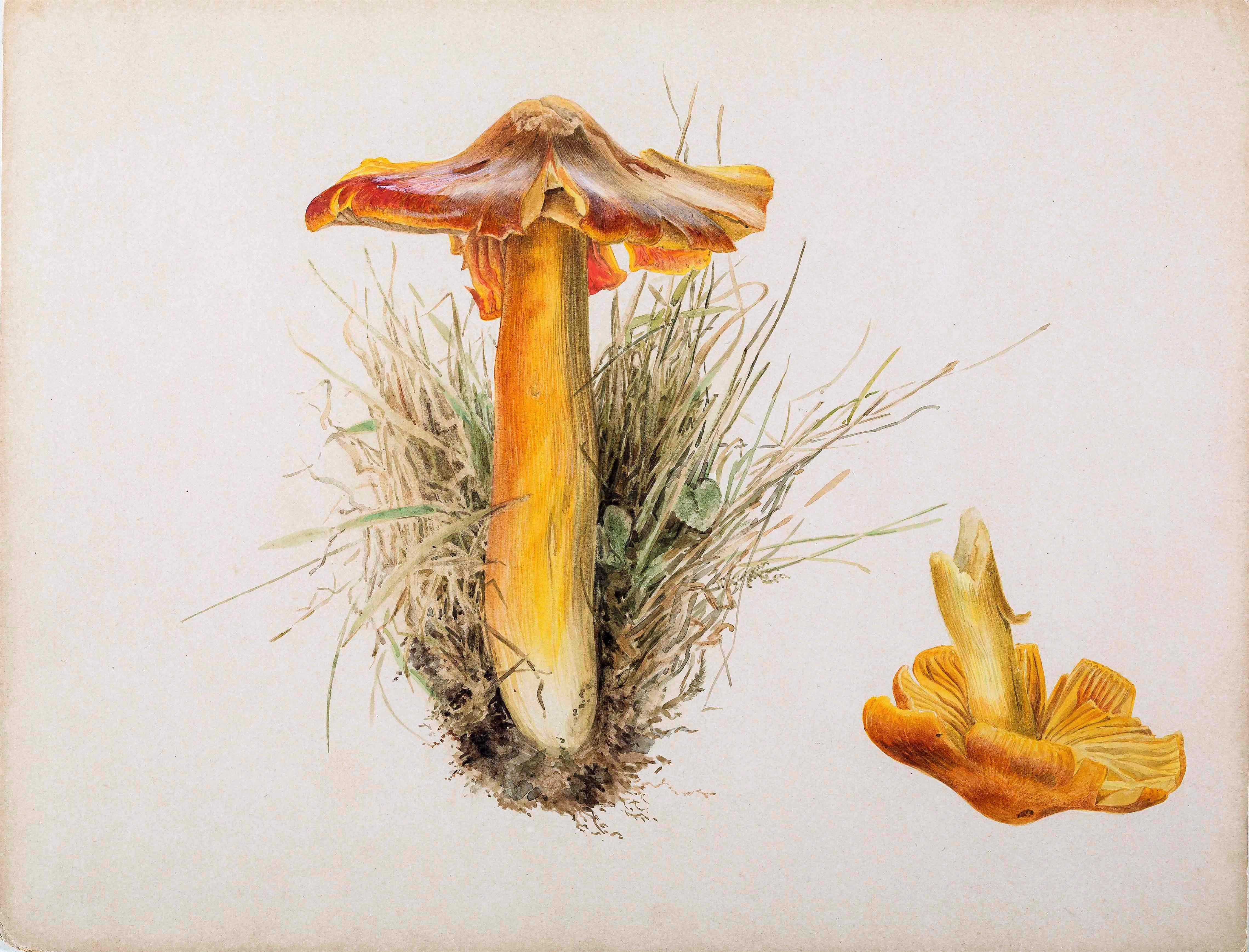 Beatrix Potter, Hygrophorus puniceus, pencil and watercolour, 7.10.1894