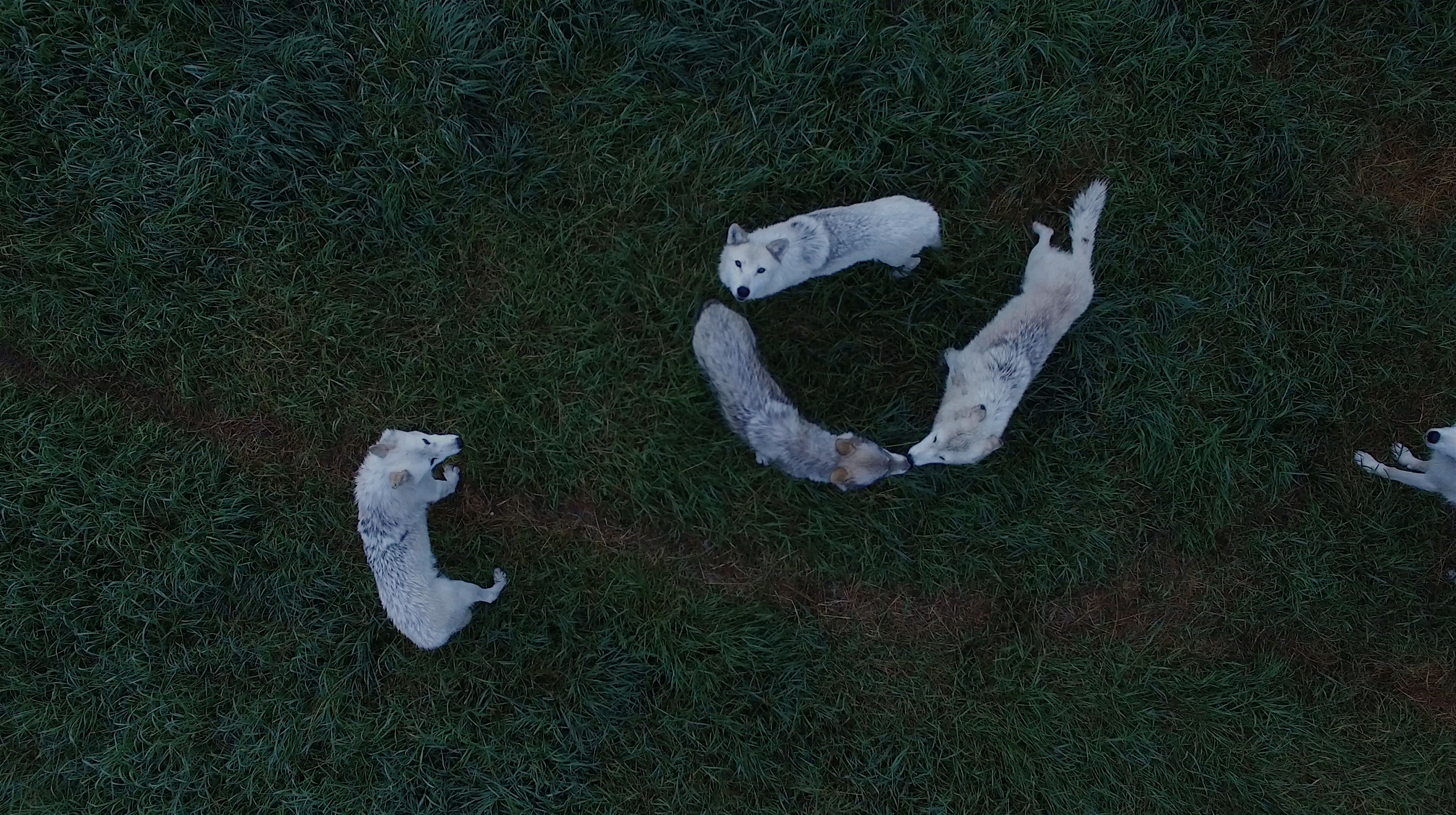 Demelza Kooij, Wolves from Above (2018). Courtesy of the artist