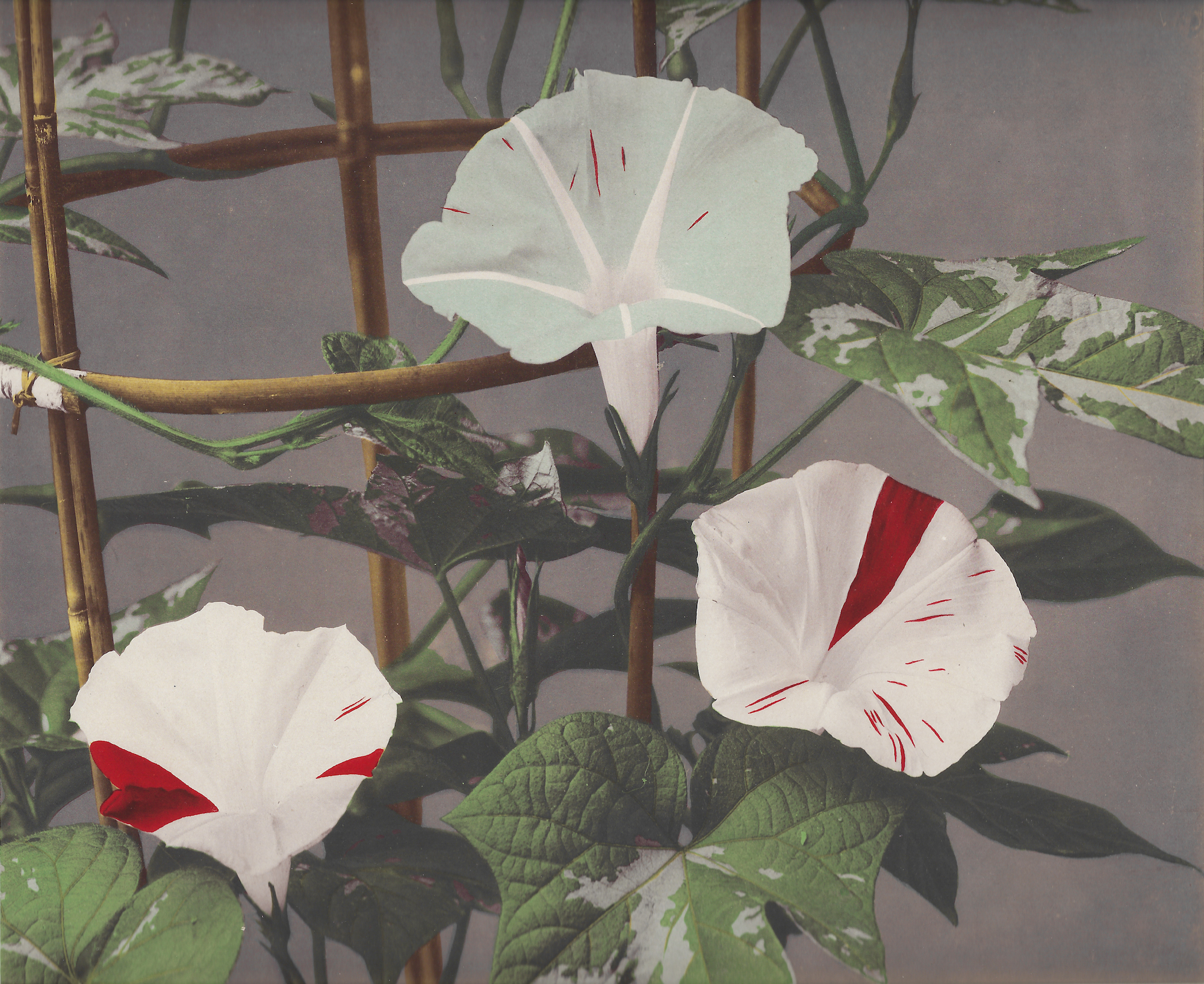 Kazumasa Ogawa, Morning Glory from 'Some Japanese Flowers' ca. 1894. Photo © Dulwich Picture Gallery