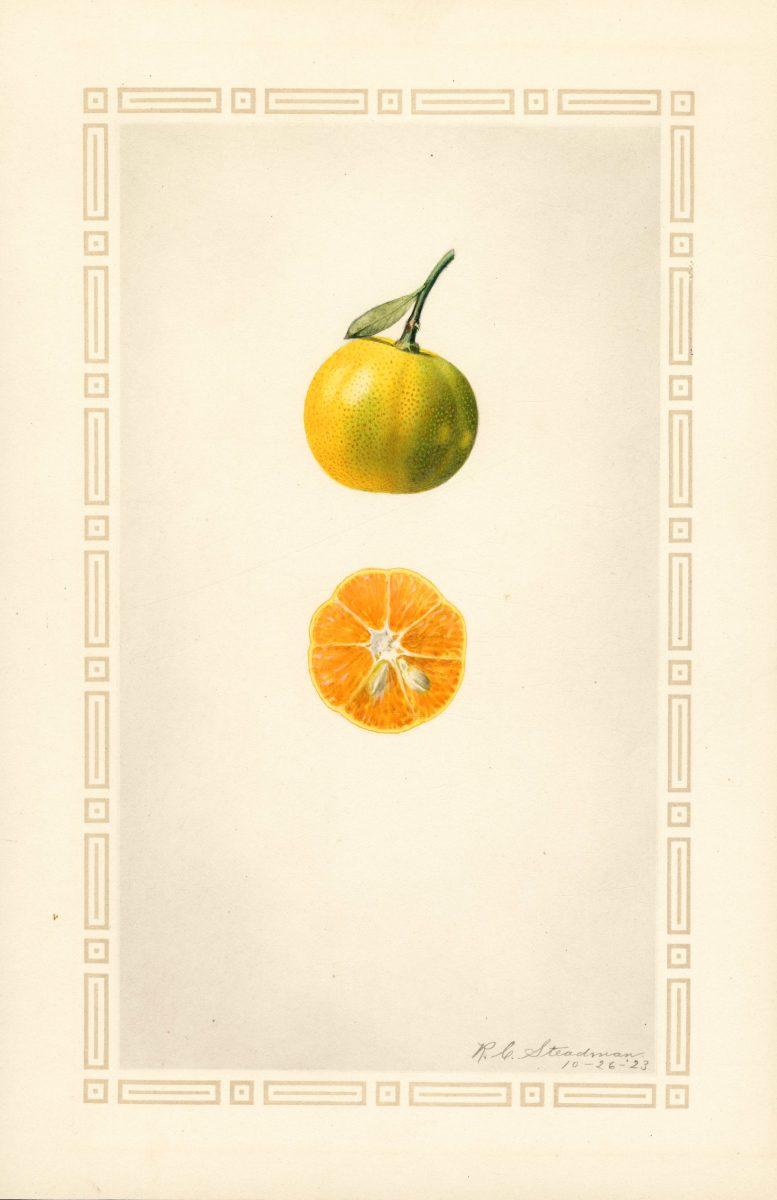 Mandarin  R. C. Steadman, 1923