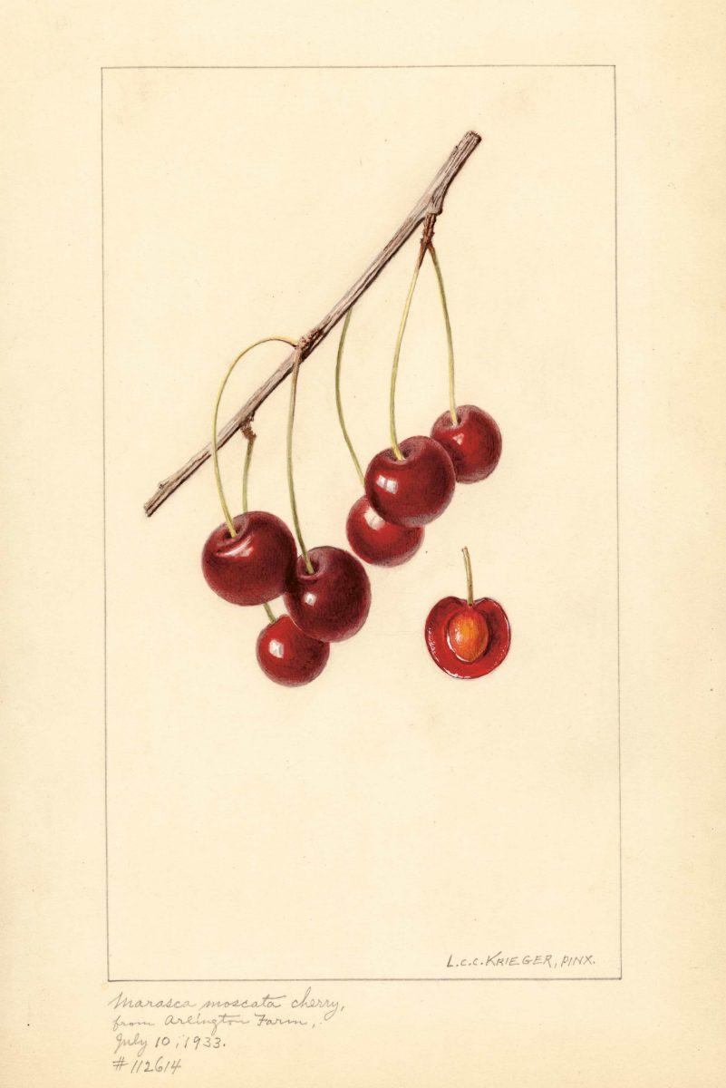 Cherry, Marasca Moscata  L. C. C. Krieger, 1933