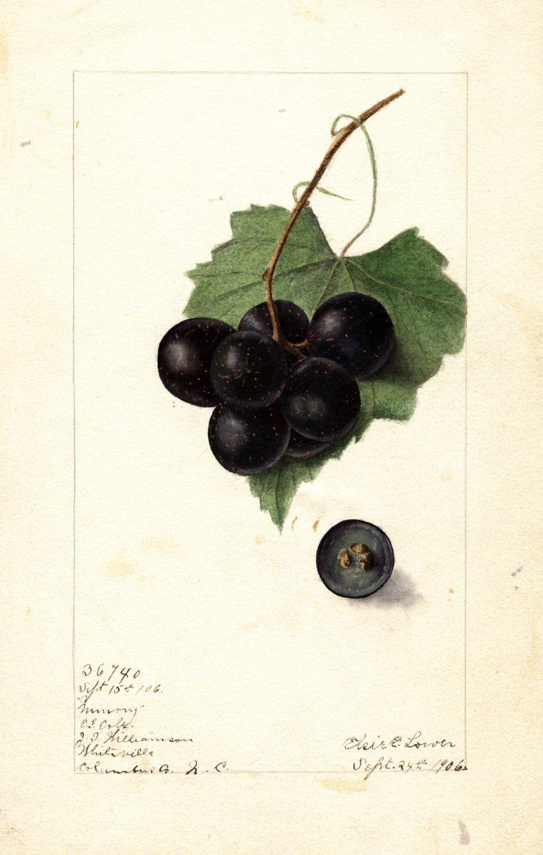 Grape, Memory E. E. Lower, 1906
