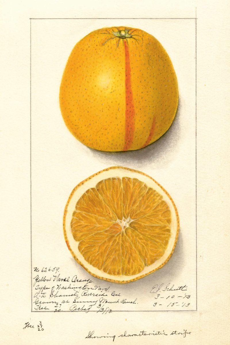 Orange, Washingotn Navel  E. I. Schutt, 1913