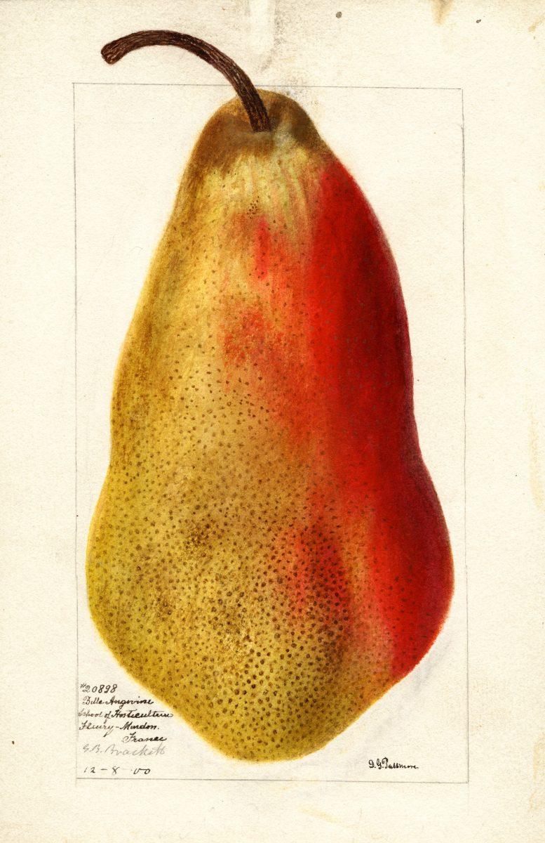 Pear, Belle Angevine  D. G. Passmore, 1900